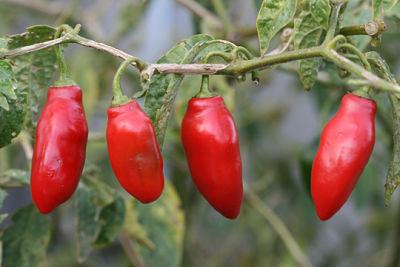 Bolivian Pepper