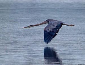 heron rises