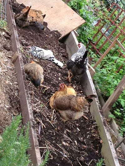 Chicken dirt bath_opt