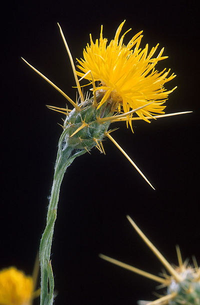 672px-Yellow_star_thistle_opt