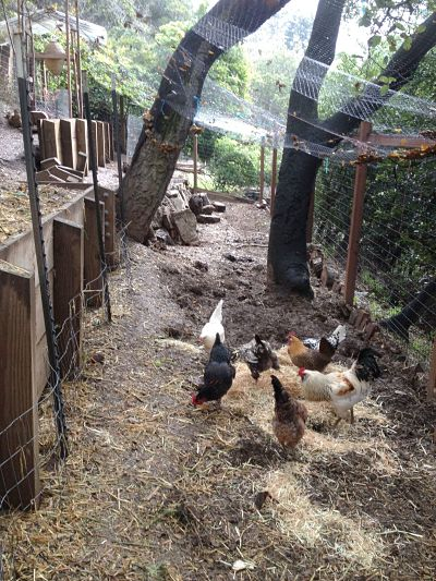 Chickens314_opt