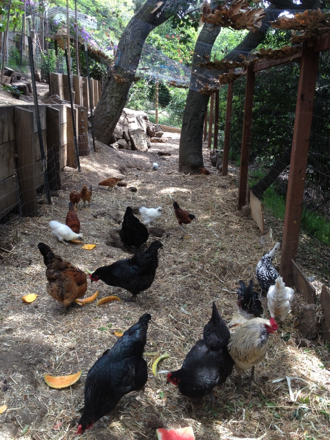 Optimized-chickens