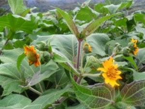 yaconflower